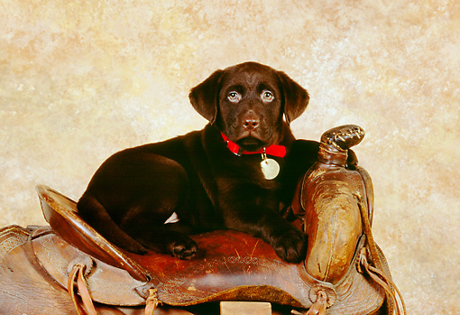 PUP 05 RK0089 01 © Kimball Stock Chocolate Labrador Retriever Puppy Laying On Saddle