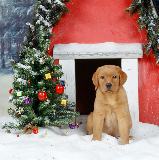 PUP 05 RS0001 03 © Kimball Stock Golden Retriever Puppy Sitting By Dog House And Christmas Tree On Snow