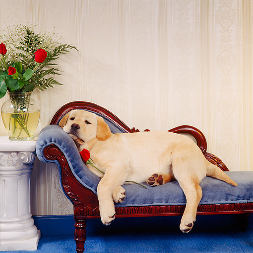 PUP 05 RS0017 04 © Kimball Stock Yellow Labrador Retriever Puppy Laying On Couch With Rose