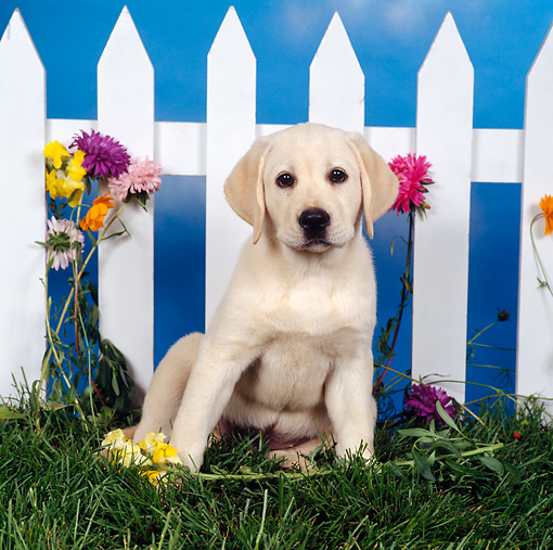 PUP 05 RS0019 02 © Kimball Stock Yellow Labrador Retriever Puppy Sitting On Grass By White Fence And Flowers