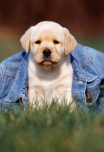 PUP 05 SS0002 01 © Kimball Stock Yellow Labrador Retriever Puppy Sitting On Grass Under Jean Jacket