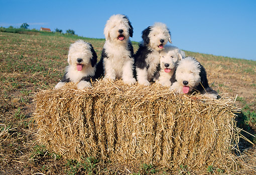PUP 06 AB0001 01 © Kimball Stock Bearded Collie Puppies Sitting On Hay Bale