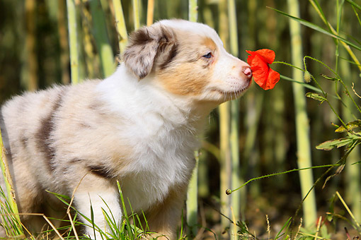 PUP 06 AC0001 01 © Kimball Stock Border Collie Puppy Sniffing Poppy Flower