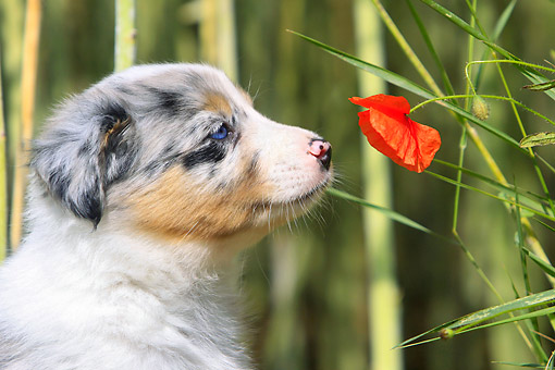 PUP 06 AC0002 01 © Kimball Stock Border Collie Puppy Sniffing Poppy Flower