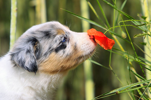 PUP 06 AC0003 01 © Kimball Stock Border Collie Puppy Sniffing Poppy Flower
