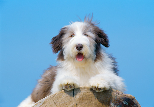 PUP 06 CB0001 01 © Kimball Stock Bearded Collie Puppy Laying On Log