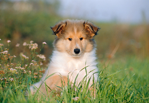 PUP 06 CB0005 01 © Kimball Stock Portrait Of Collie Puppy Sitting In Tall Grass And Wildflowers