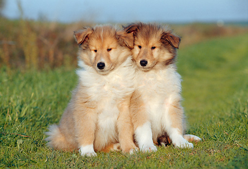 PUP 06 CB0006 01 © Kimball Stock Portrait Of Two Collie Puppies Sitting On Grass