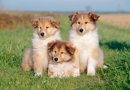 PUP 06 CB0007 01 © Kimball Stock Portrait Of Three Collie Puppies On Grass
