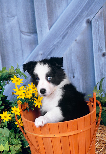 PUP 06 FA0001 01 © Kimball Stock Border Collie Puppy Sitting In Wooden Bucket By Fence And Yellow Flowers