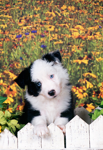 PUP 06 FA0002 01 © Kimball Stock Border Collie Puppy Leaning On White Picket Fence By Yellow Flowers
