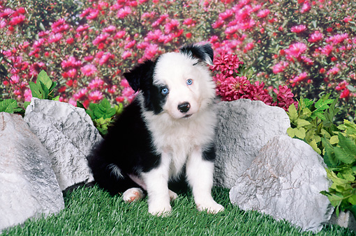 PUP 06 FA0003 01 © Kimball Stock Border Collie Puppy Sitting On Grass By Rocks And Pink Flowers