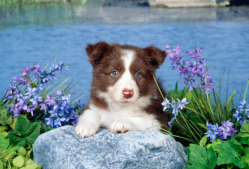 PUP 06 FA0004 01 © Kimball Stock Border Collie Puppy Laying On Rock By Pond And Purple Flowers