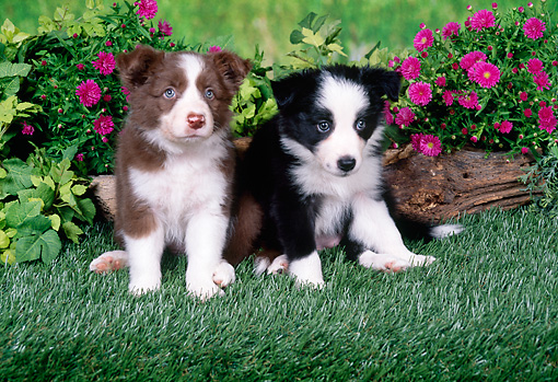 PUP 06 FA0005 01 © Kimball Stock Border Collie Puppies Sitting On Grass By Pink Flowers