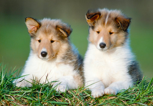 PUP 06 GR0019 01 © Kimball Stock Two Collie Puppies Laying On Lawn