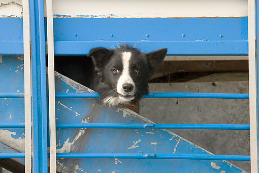 PUP 06 JE0001 01 © Kimball Stock Border Collie Puppy Peeking Out Of Blue Gate