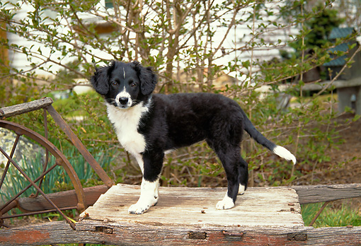 PUP 06 JN0001 01 © Kimball Stock Border Collie Puppy Standing On Old Wooden Wagon