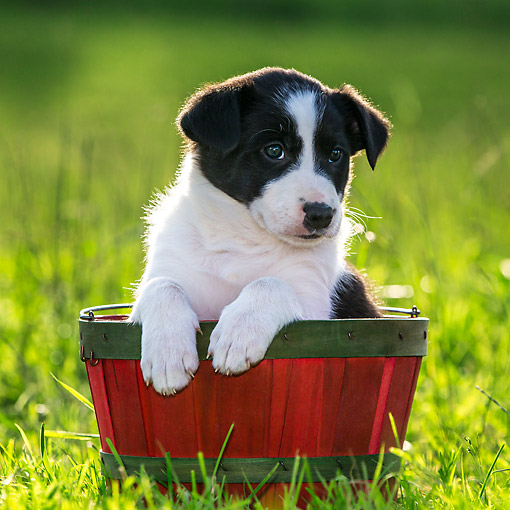 PUP 06 KH0001 01 © Kimball Stock Border Collie Puppy Sitting In Red Basket On Grass France