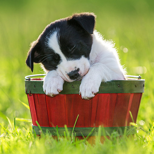 PUP 06 KH0002 01 © Kimball Stock Border Collie Puppy Sleeping In Red Basket On Grass France