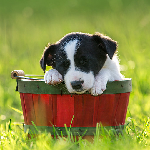 PUP 06 KH0003 01 © Kimball Stock Border Collie Puppy Sleeping In Red Basket On Grass France