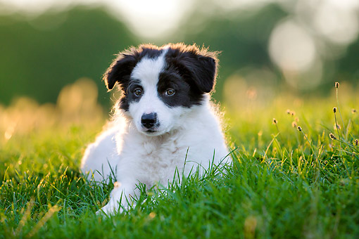 PUP 06 KH0004 01 © Kimball Stock Border Collie Puppy Sitting In Grass