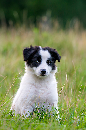 PUP 06 KH0005 01 © Kimball Stock Border Collie Puppy Sitting In Grass