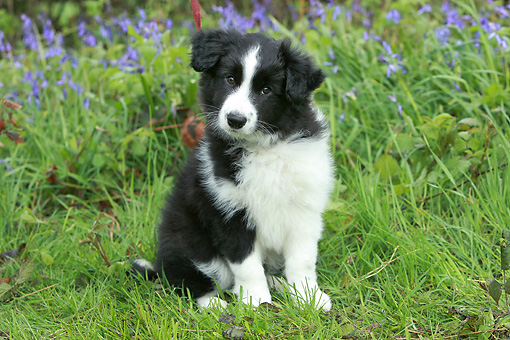 PUP 06 NR0004 01 © Kimball Stock Border Collie Puppy Sitting On Grass By Violet Flowers