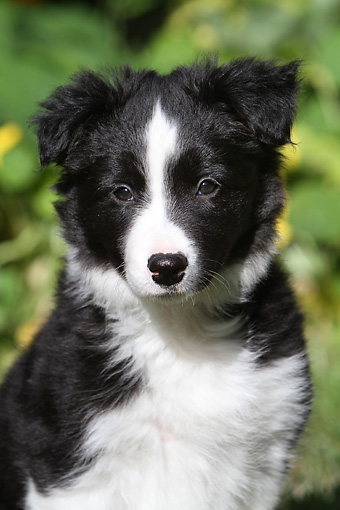PUP 06 NR0005 01 © Kimball Stock Portrait Of Border Collie Puppy By Yellow Flowers