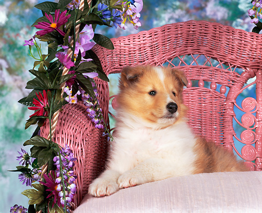 PUP 06 RK0026 03 © Kimball Stock Rough Collie Laying On Pink Chair With Flowers Facing Camera