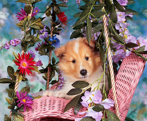 PUP 06 RK0031 02 © Kimball Stock Rough Collie Sitting In Pink Chair With Pretty Flowers