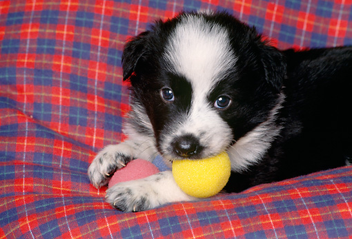 PUP 06 RK0060 02 © Kimball Stock Head Shot Of Border Collie Puppy With Toy