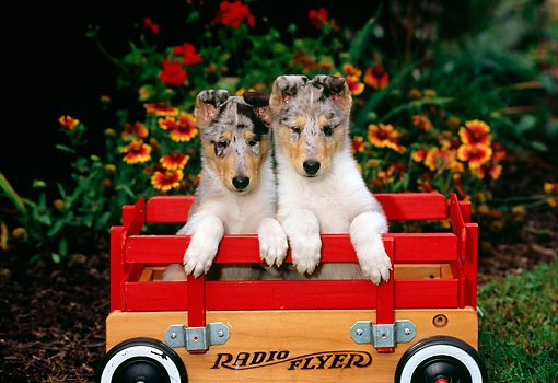 PUP 06 CE0004 01 © Kimball Stock Two Blue Merle Smooth Collie Puppies Sitting In Wagon By Flowers