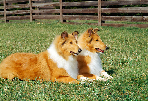 PUP 06 CE0005 01 © Kimball Stock Two Rough Collie Puppies Laying On Grass By Fence