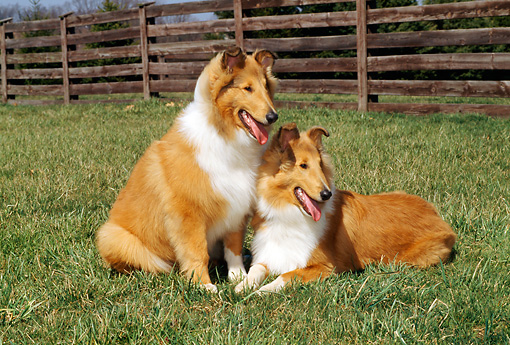 PUP 06 CE0006 01 © Kimball Stock Two Rough Collie Puppies Laying On Grass By Fence
