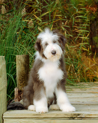 PUP 06 CE0007 01 © Kimball Stock Bearded Collie Puppy Sitting On Dock By Tall Grass And Trees