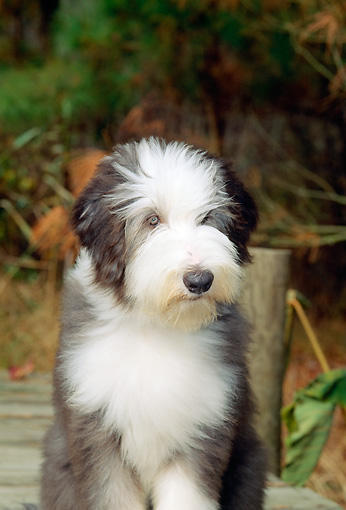 PUP 06 CE0008 01 © Kimball Stock Bearded Collie Puppy Sitting On Dock By Tall Grass And Trees