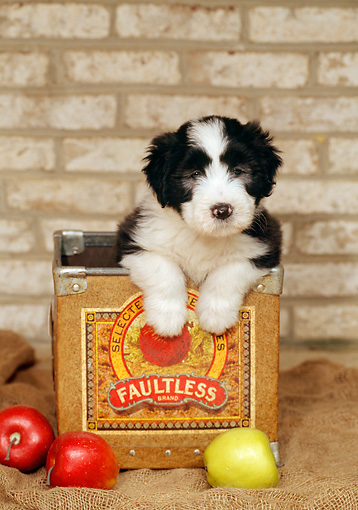 PUP 06 CE0009 01 © Kimball Stock Bearded Collie Puppy Standing In Apple Box By Apples And Brick Wall