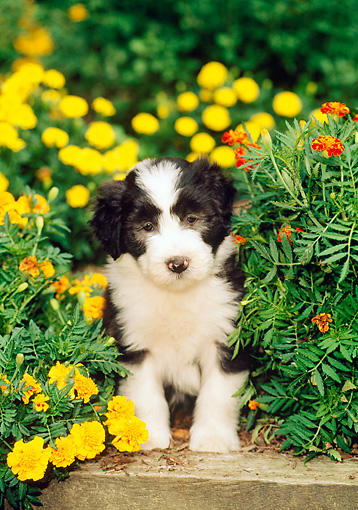 PUP 06 CE0010 01 © Kimball Stock Bearded Collie Puppy Sitting On Wooden Ledge Among Flowers
