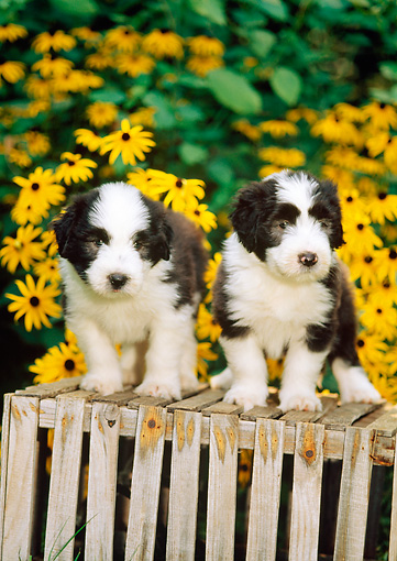 PUP 06 CE0011 01 © Kimball Stock Two Bearded Collie Puppies Standing On Wooden Crate By Yellow Flowers