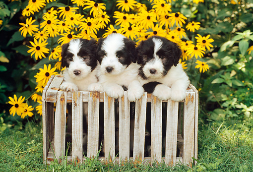 PUP 06 CE0012 01 © Kimball Stock Three Bearded Collie Puppies Laying On Wooden Crate By Yellow Flowers