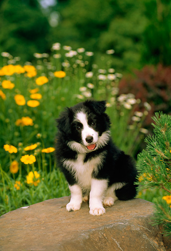 PUP 06 CE0013 01 © Kimball Stock Border Collie Puppy Sitting On Rock By Flowers