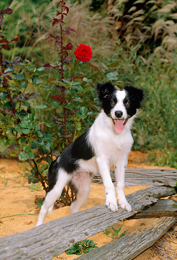 PUP 06 CE0015 01 © Kimball Stock Border Collie Puppy Stepping On Fence Rail By Red Flowers