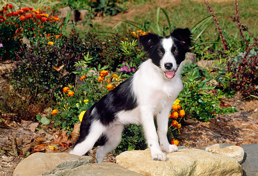 PUP 06 CE0016 01 © Kimball Stock Border Collie Puppy Stepping On Rock By Flower Garden