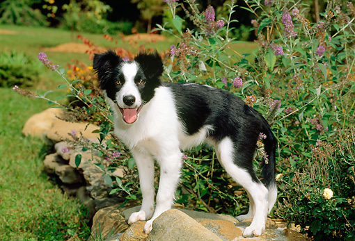 PUP 06 CE0017 01 © Kimball Stock Border Collie Puppy Standing On Rock By Flower Garden