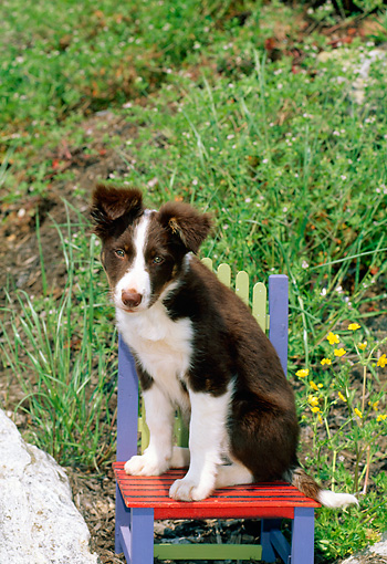 PUP 06 CE0018 01 © Kimball Stock Border Collie Puppy Sitting On Chair In Flower Garden