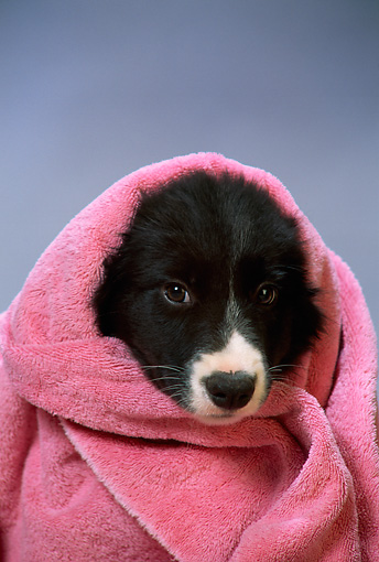 PUP 06 DC0009 01 © Kimball Stock Head Shot Of Border Collie Puppy Wrapped In Towel