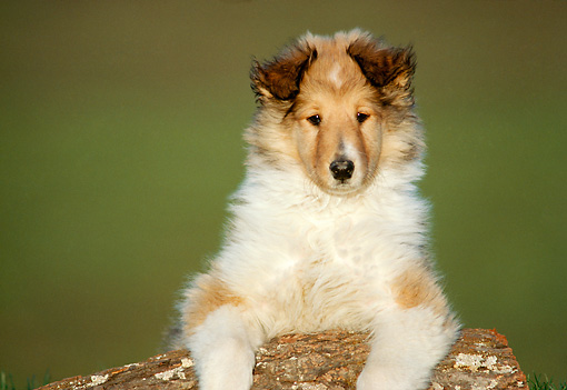 PUP 06 GR0001 02 © Kimball Stock Head Shot Of Collie Puppy Laying On Log
