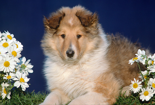 PUP 06 GR0004 02 © Kimball Stock Collie Puppy Laying On Grass By White Flowers