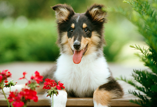 PUP 06 GR0010 01 © Kimball Stock Head Shot Of Tricolored Collie Puppy Laying On Patio By Flowers