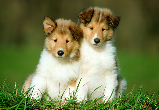 PUP 06 GR0013 02 © Kimball Stock Portrait Of Two Collie Puppies Sitting On Grass